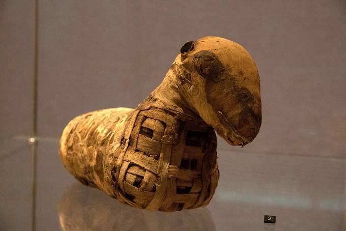 Mumifikované jehně, muzeum v Leiden, Nizozemí
