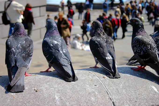 Holubů je na Trafalgarském náměstí hodně dodnes.