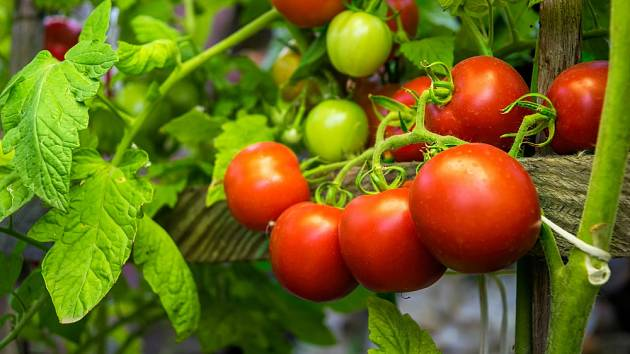 Rajčatům můžeme dopomoci k růstu levnými domácími hnojivy.