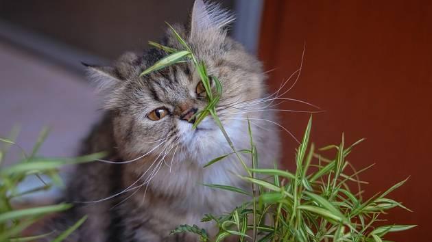 Bambus je pro kočky vhodný z důvodu, že rychle dorůstá.