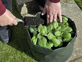 Pěstování brambor v pytli je jednoduché.