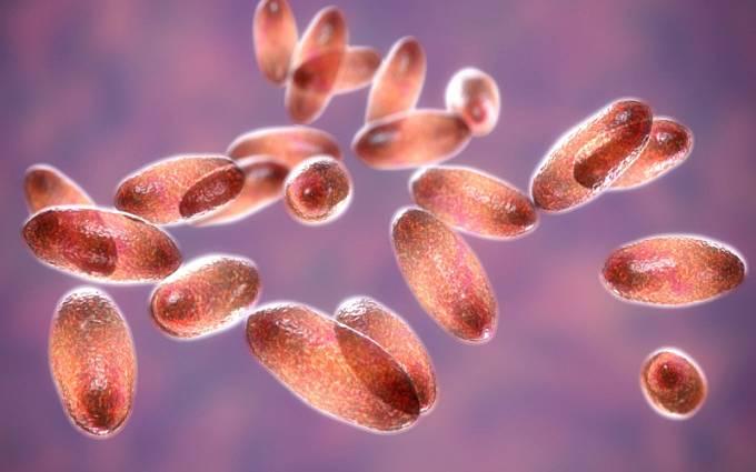 Bakterie moru Yersinia pestis