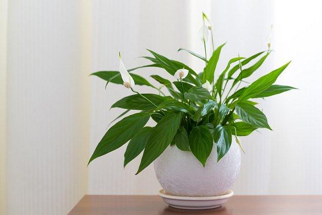 Lopatkovec (Spathiphyllum)