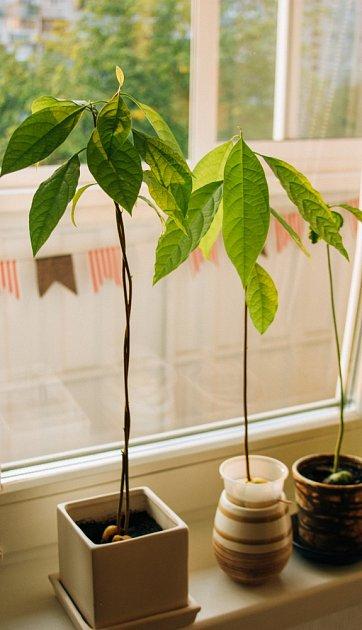 Pěstování avokáda.