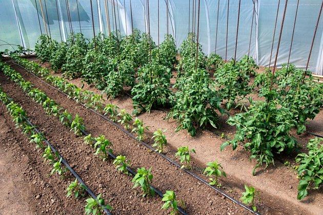 Kvasnicové hnojivo prospívá především rajčatům a paprikám.