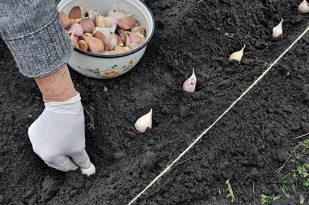 Stroužky česneku sázíme v rozestupech 10 cm.