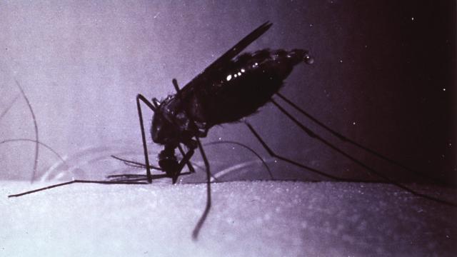 Malárie se přenáší výhradně kousnutím samičky komára rodu Anopheles.