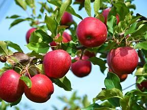 Mohou hřebíky zlepšit plodnost ovocných stromů?