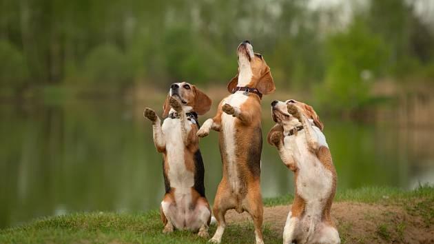 Tancující psi vzbuzují smích i obdiv.