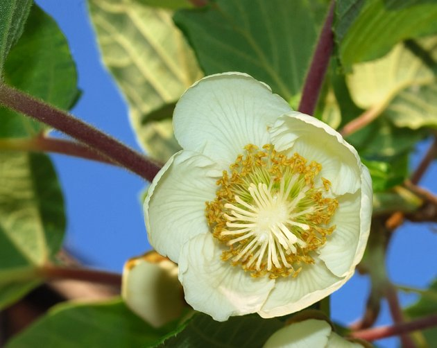 Květ samičí rostliny má kromě tyčinek i bílé blizny.