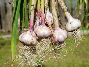 Jarní sadba česneku bývá méně výnosná.