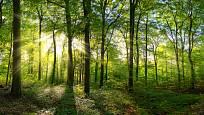 Hřib královský roste v listnatých lesích.