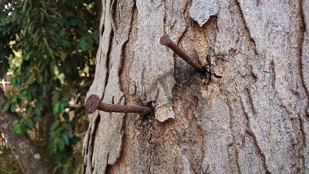 Rezavé hřebíky mohou stromy zahubit.
