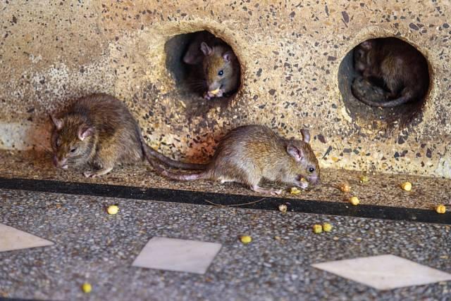 Bezprostřední kontakt mezi krysí tlapkou a vaším obnaženým nártem znamená velké požehnání