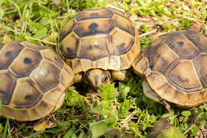 Želva patří mezi dlouhověká zvířata s tuhým kořínkem.