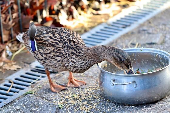 Nekrmte kachny a labutě pečivem.