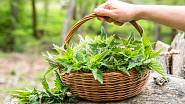 Kopřivy dají sílu nejen lidem, ale i rostlinám.