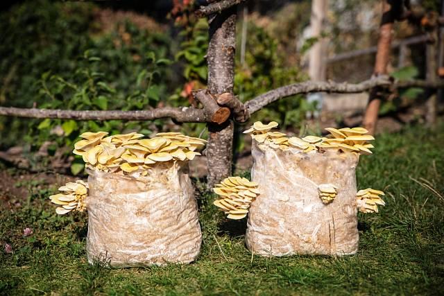 Pěstování v pytlích může být velmi úspěšné.