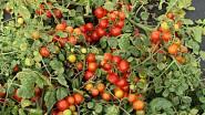 Odrůda Bajaja vám dá za sezónu až sedm set rajčátek.