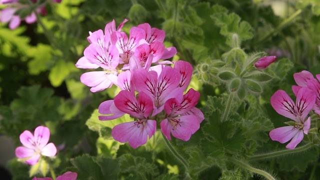 Tahle nádherná růžová květina je Pelargonium capitatum ze sbírky pražské botanické zahrady.