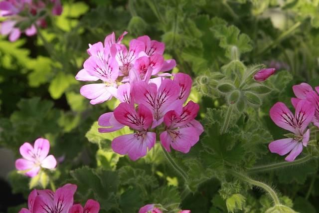 Tahle nádherná růžová květina je Pelargonium capitatum ze sbírky pražské botanické.