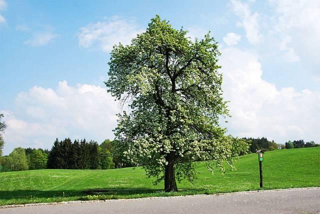 Památná hrušeň. Jediný strom, který přežil nacistické řádění