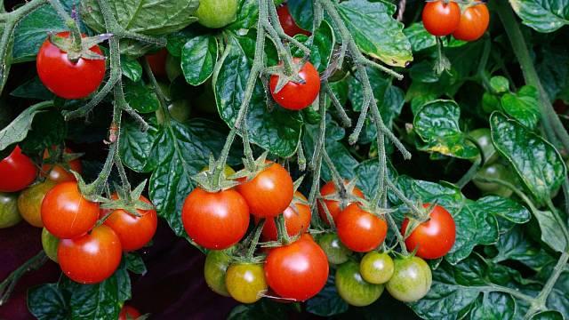 Pro pěstování jsou vhodné velké květináče a pěstební bedničky