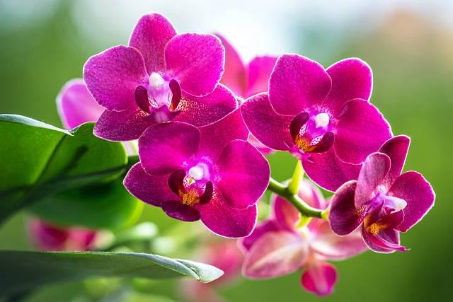 Phalaenopsis je druh snad nejvíc vhodný k domácímu pěstování.