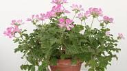 Na jaře jim prospěje přesazení do čistého květináče.