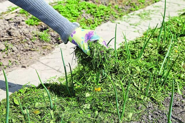 Mulč z trávy chrání i hnojí.
