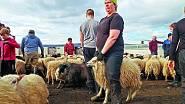 Shánění a rozdělování ovcí na Islandu, kde pracovala půl roku jako honačka ovcí.