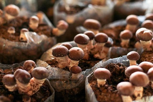 Houbičky shiitake se běžně pěstují ve velkém.
