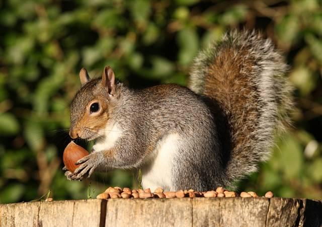 Veverky mají rády ořechy, především lískové a vlašské, zvládnou si je i vyloupat.