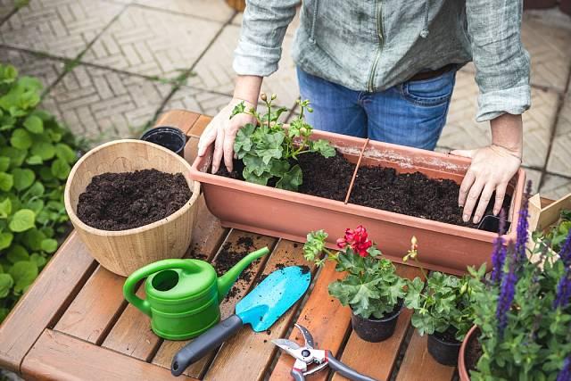 Než rostlinky zasadíte, oberte z nich suché nebo hnědé listy.
