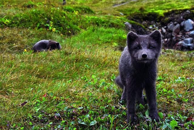 Islandské polární lišky.