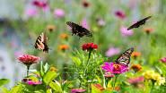 Pokud chcete, aby k vám na zahradu létali motýli, musíte jim nabídnout rostliny a květiny, které jim vyhovují.