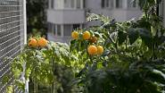 Na městském balkóně se může urodit překvapivě velká úroda.
