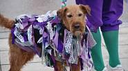 Při jarních oslavách v Anglii jsou slavnostně oblečení i psi.