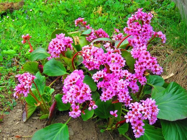 Málokdo ví, že bergénie je nejen krásná, ale i léčivá.