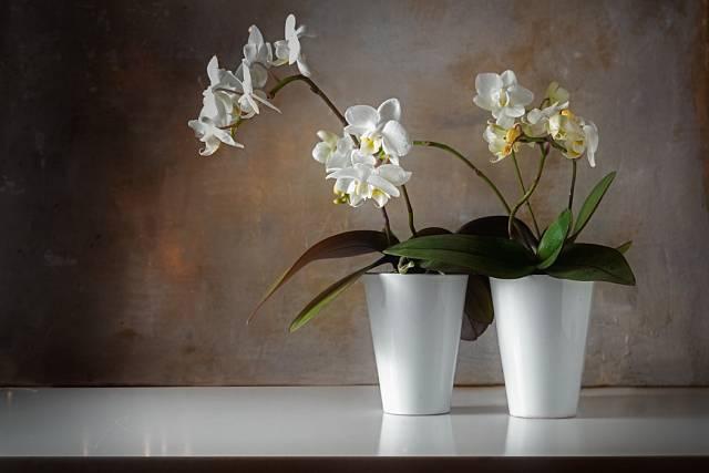 Barevnost druhu Phalaenopsis uspokojí určitě každého.