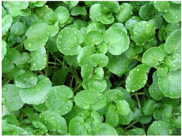 Potočnice lékařská je jedna z prvních jarních bylin, kterou lze v přírodě sbírat.