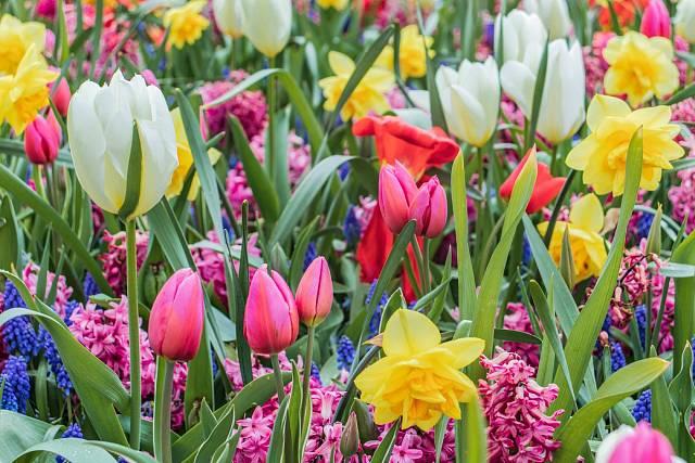 Tulipány v letošním počasí kvetou déle než v jiných letech.