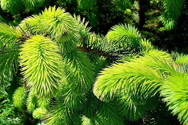 Silice, obsažené ve světle zelených zakončeních smrkvých větví, poskytují základ pro domácí přípravu sirupů, tinktur nebo výluhů.