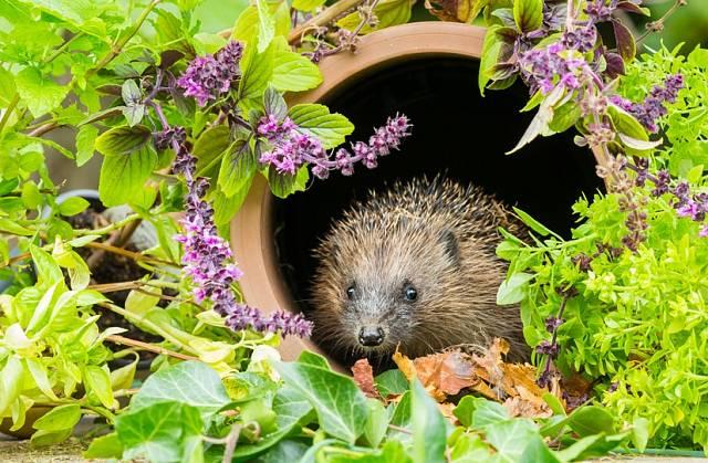 Zahrada pro ježka je zarostlá, s dostatkem míst, kde se může ukrýt a přezimovat. Potěší ho hromada listí a větví v klidném koutě, kam nesmí strkat nos pes.