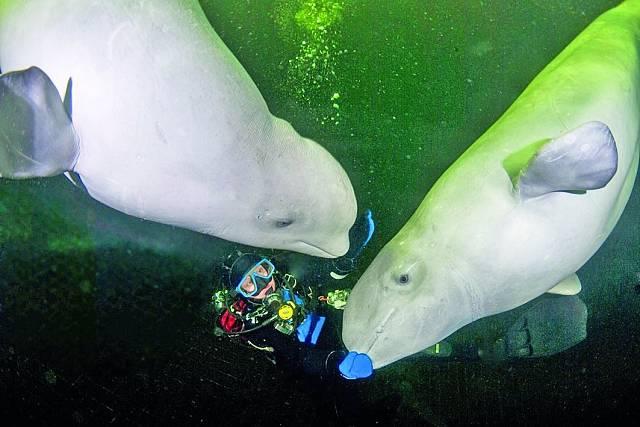 S běluhami na dotek v Bílém moři.