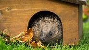 Když ježkovi uděláte v roští i domeček ze dřeva, odmění se tím, že slupne slimáky.