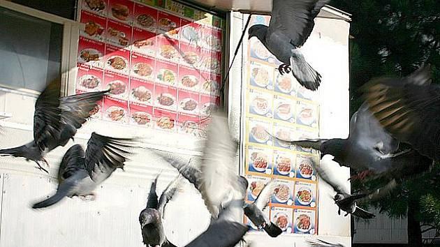 Holubi v Litvínově nalétají ke stánku s rychlým občerstvením. Vietnamský obchodník totiž ptákům hází zbytky svého neprodaného zboží.