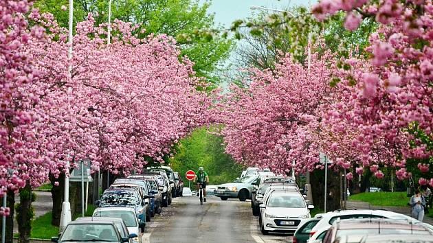 V Mostě opět kvetou krásné sakury