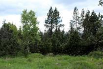 Stromy v lese u Klínské brány a jejich zajímavé tvary.