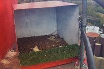 Sledujte online čerstvě vylíhnutá mláďata sokola stěhovavého.